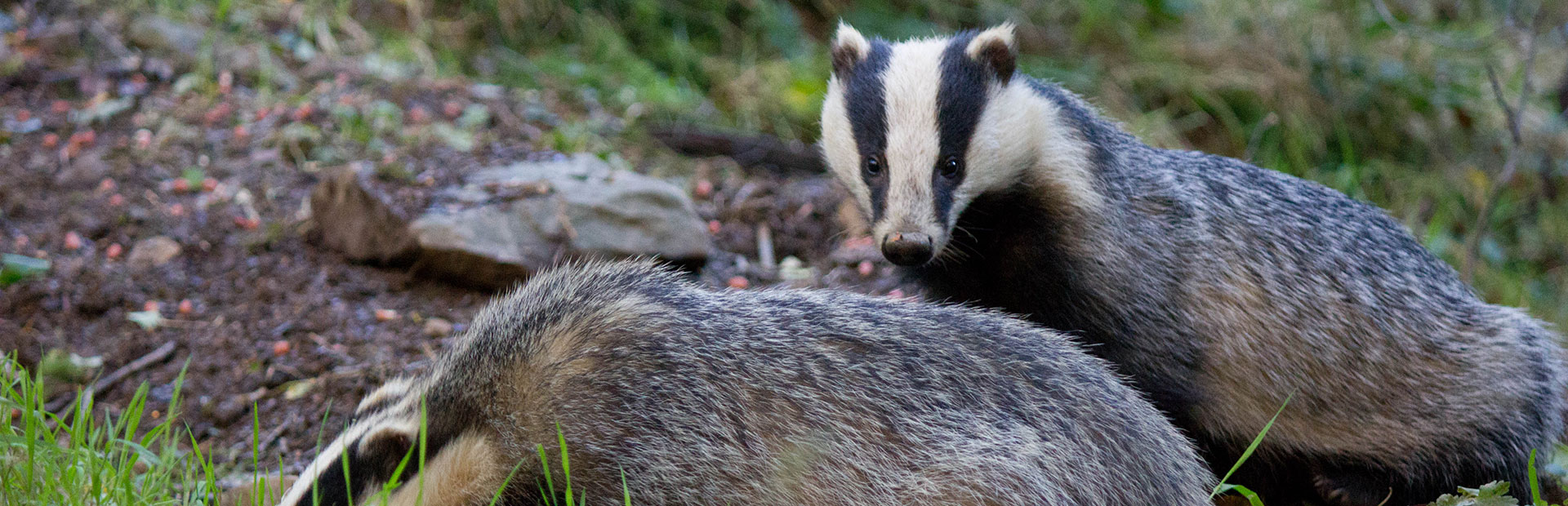 badgers-in-devon