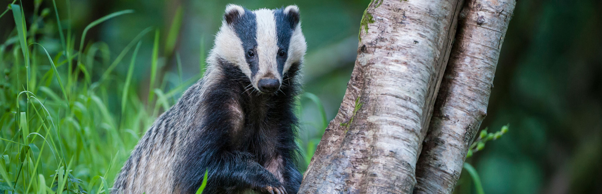 see-badgers-in-devon
