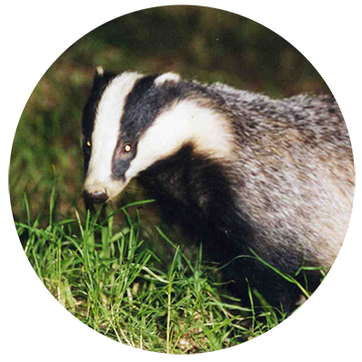 Badgers-002