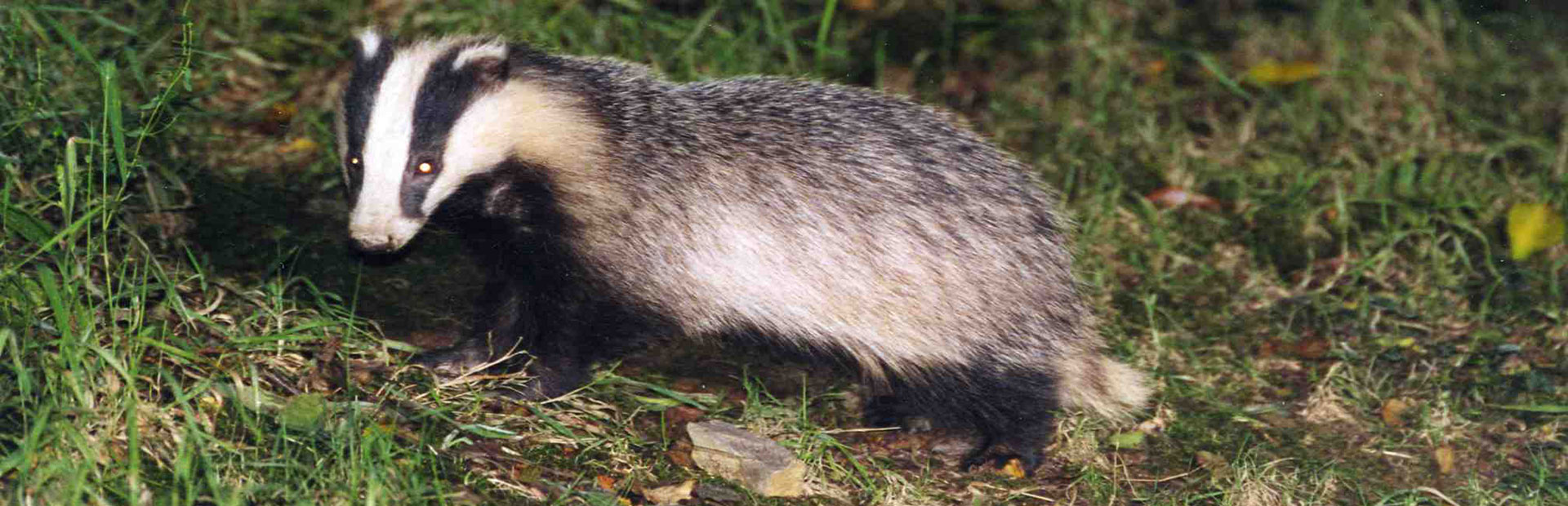 Devon-badger-watch-badgers-2-jpg