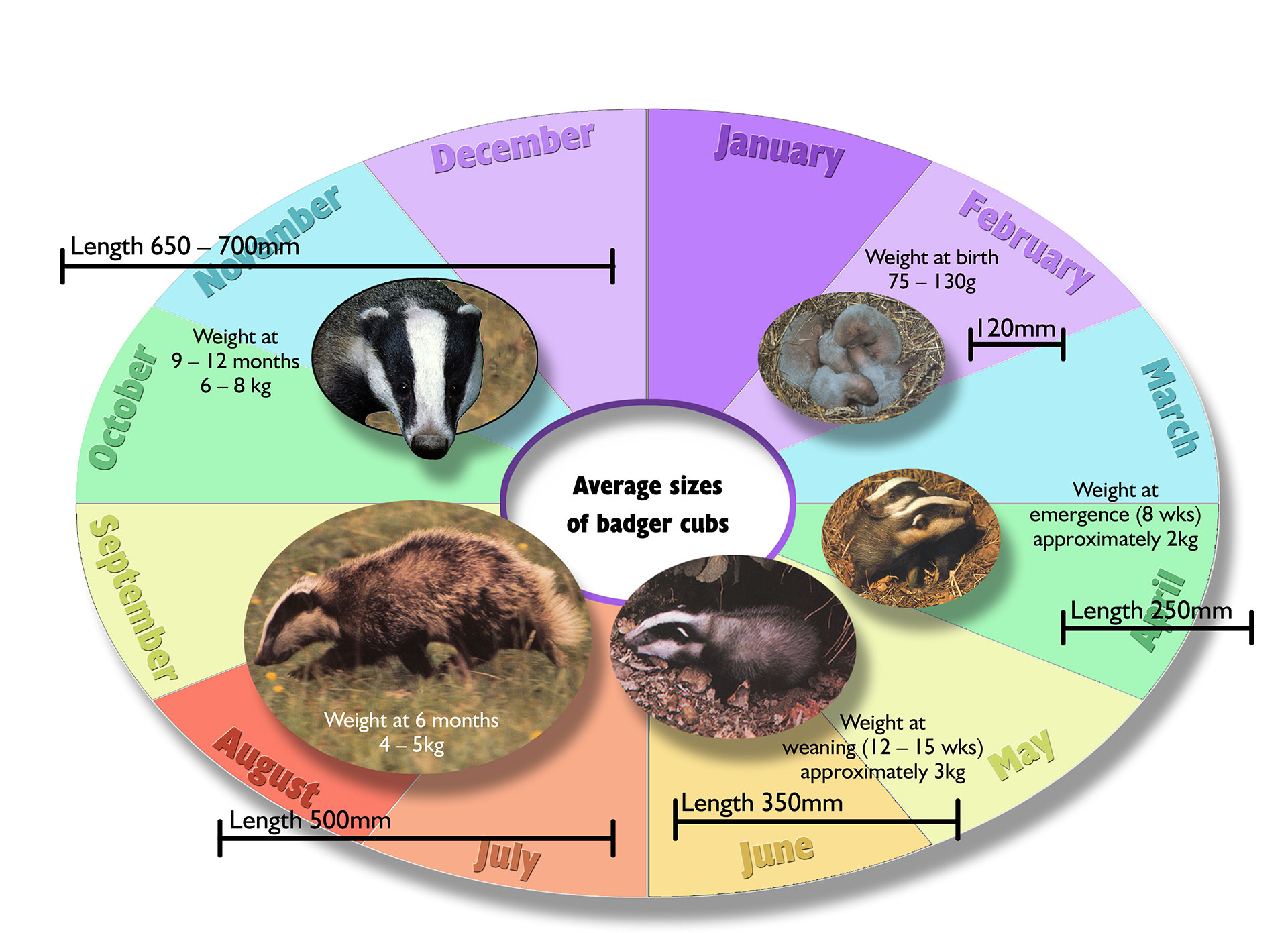 badger-cub-information