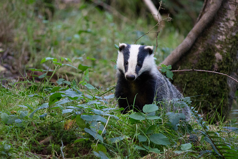 badger-photograph--1-DBW