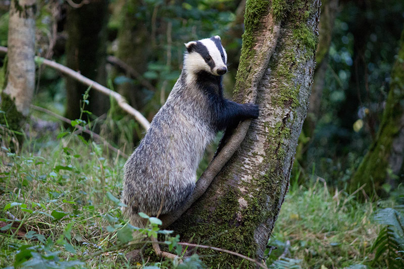 badger-photograph--2-DBW