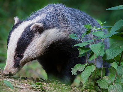 badgers-before-your-eyes