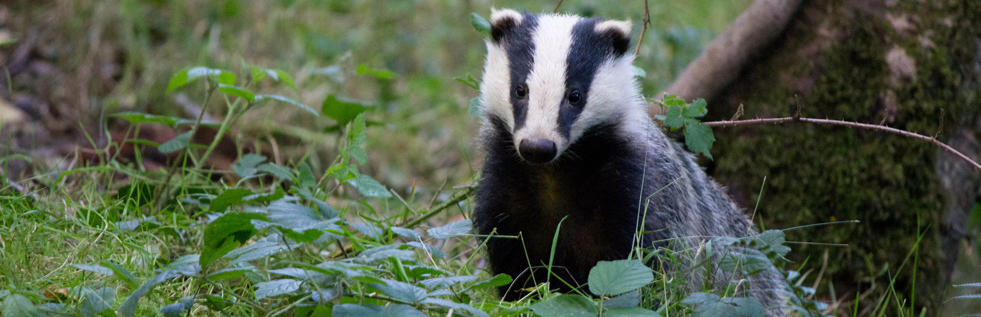 devon-badger-exploring