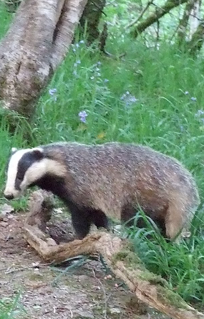 devon-badger-watch-9